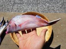 画像19: 【グロいけど...売れています】キャビネット『魚ケース』(各種) (19)