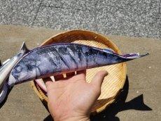 画像7: 【グロいけど...売れています】キャビネット『魚ケース』(各種) (7)